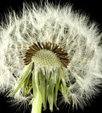 Dandelion Royalty Free Stock Photo