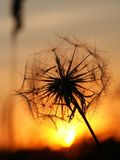 Dandelion. Fiery Sunset and Dandelion in contra Stock Images