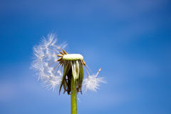 Dandelion. A dandelion in front of the sky Royalty Free Stock Image