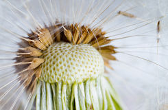 The Dandelion. Royalty Free Stock Photos