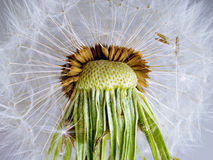 The Dandelion. Royalty Free Stock Photography