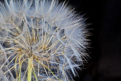 Dandelion. In seed on a black background royalty free stock photography