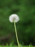 Dandelion. Single white dandelion with green background Stock Photo