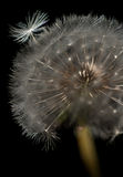 Dandelion. Head with 1 loose seed on a black background royalty free stock images