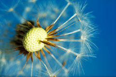 Dandelion Royalty Free Stock Image
