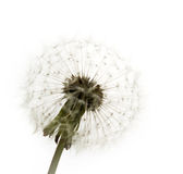 Dandelion. Is isolated on a white background stock photo