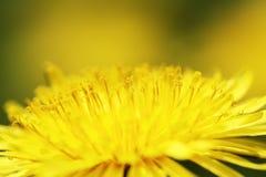 Dandelion. Yellow dandelion flower in closeup Royalty Free Stock Photos