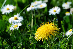 Dandelion. A yellow dandelion flower with blurred daisies in the background stock images