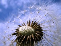 Dandelion. White dandelion on blue sky Royalty Free Stock Images