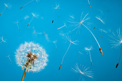 Free Dandelion Royalty Free Stock Images - 23727379