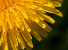 Dandelion. Yellow petals of a dandelion in the summer sun Stock Images