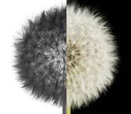 Dandelion. Stock Photography