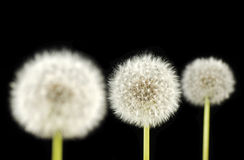 Dandelion. Royalty Free Stock Photo