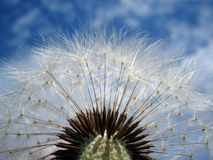 Dandelion. White dandelion on blue sky Royalty Free Stock Image