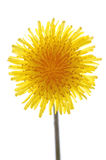 Dandelion. Close-up of one dandelion on white, spring flower royalty free stock image