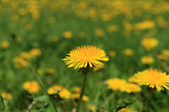 Free Dandelion Royalty Free Stock Photography - 24622317