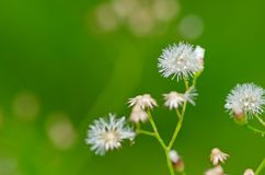 Dandelion. Beautiful fresh dandelion close up Stock Images