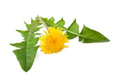 Dandelion. Flower and  isolated on white background royalty free stock photography