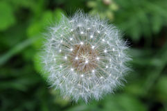 Dandelion. In a garden among a green grass Royalty Free Stock Image