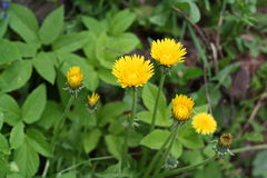 Dandelion. Yellow dandelion flower close up Royalty Free Stock Image