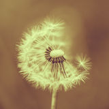 Dandelion. Closeup of a dandelion flower; toned image Stock Photography