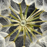 Dandelion. Close-up of dandelion seed head Stock Photos