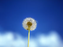 Dandelion. Dandelion seed head against blue sky background Stock Photography