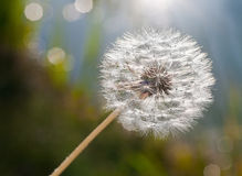 Dandelion. In backlight as closeup Royalty Free Stock Images