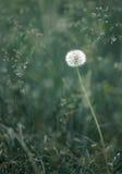 Dandelion Royalty Free Stock Photo