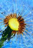 Dandelion. Beautiful dandelion over blue background Stock Photography