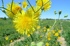 Dandelion. A yellow flower in a field Stock Photography