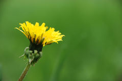 Dandelion. A close up on a yellow dandelion stock photography