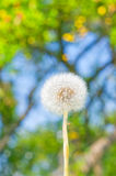 Dandelion. On the fruit garden background stock images