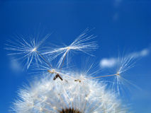 Dandelion 27. Dandelion seeds with blue sky Stock Photos