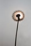Dandelion. On the grey background royalty free stock photo