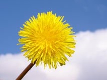 Dandelion. On a background of the blue sky Stock Photography