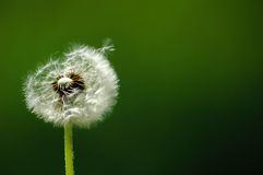 Dandelion. Solitary dandelion on green background Royalty Free Stock Image