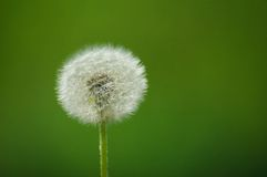 Dandelion. Solitary dandelion on green background Stock Image