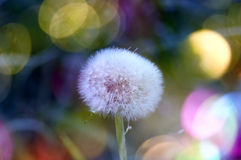 Dandelion. Beautiful plants in our environment Stock Images