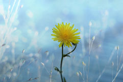 Dandelion. Yellow dandelions in your dreams Royalty Free Stock Images