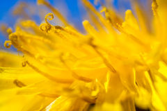 Dandelion. Freshly grown yellow colored dandelion in full bloom shot on full macro Stock Photography