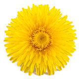 Dandelion. Isolated on a white background royalty free stock images