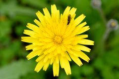 Dandelion. A yellow dandelion with a bug Royalty Free Stock Photo