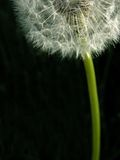 Dandelion 3. Closeup of a dandelion with space for copy Royalty Free Stock Images
