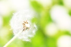 Dandelion. zdjęcie stock