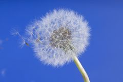 Dandelion. On a blue background with a delicate breeze royalty free stock photos