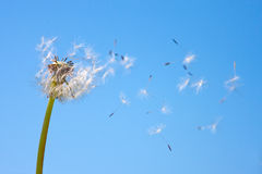 Dandelion. With flying seed, Taraxacum Royalty Free Stock Images