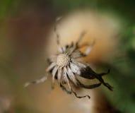 Dandelion. Leafless dandelion in the summer heat Royalty Free Stock Photo