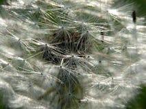 Dandelion Stock Image