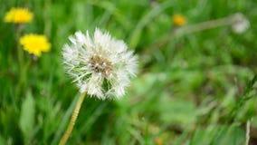 Dandelion zdjęcie wideo